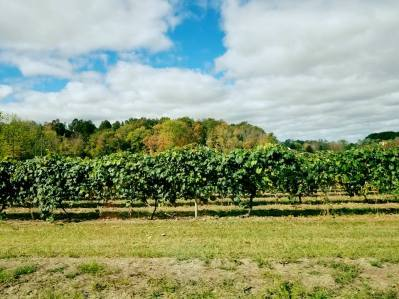 concord grape vineyard
