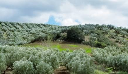 Olive groves of Granada Spain